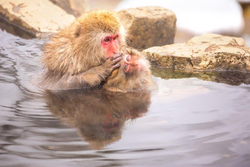 Śnieg małpa kąpać w gorącej wiośnie obrazy royalty free