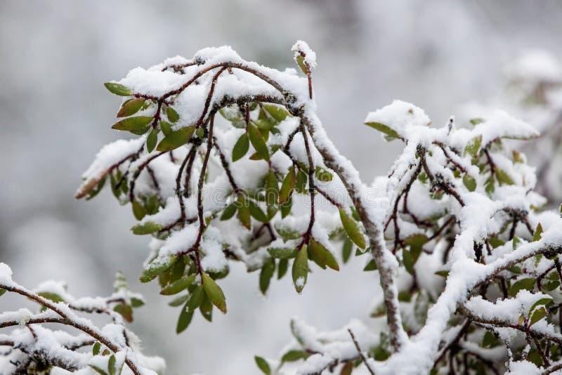 Śnieg na Australijskich rodzimych roślinach w Kołysankowej Halnej Krajowej normie fotografia royalty free