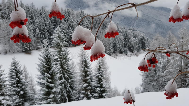 Śnieg na czerwonych jagodach obrazy stock