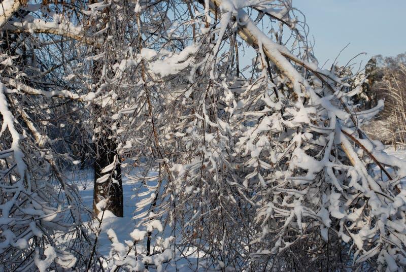 Śnieg na gałąź obraz royalty free
