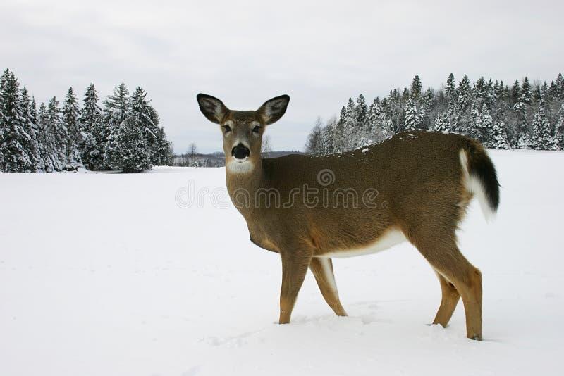 śnieg na jelenie zdjęcie royalty free