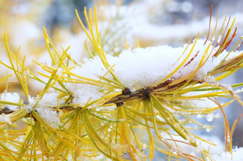 Śnieg na modrzewiu! fotografia royalty free