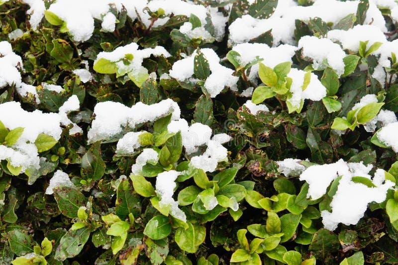Śnieg na roślina liściach fotografia royalty free