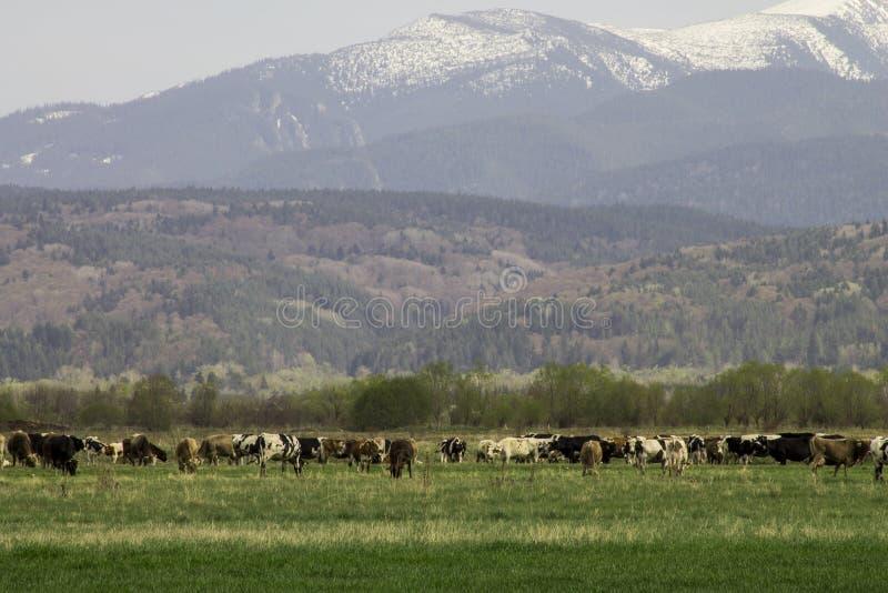 Śnieg nakrywać góry i zielona łąka z krowami obrazy stock