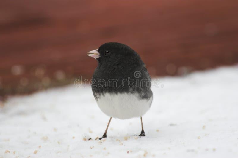 śnieg ptaka obraz royalty free