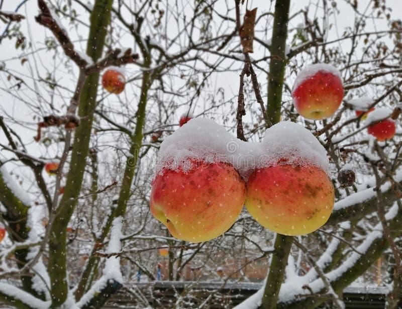 Śnieg spada na dojrzałych jabłkach wiesza na gałąź zdjęcie royalty free