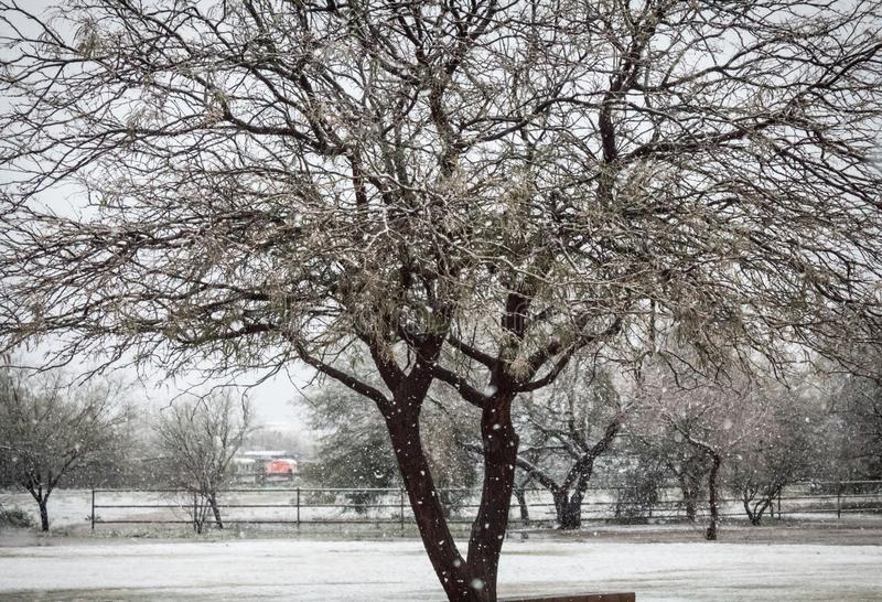 Śnieg spada na wielkim mesquite drzewie z ogrodzeniem zdjęcia stock