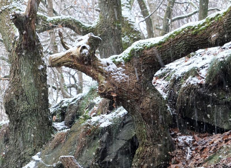 Śnieg spada w antycznym lesie z zwierzęciem kształtował drzewnego bagażnika fotografia royalty free