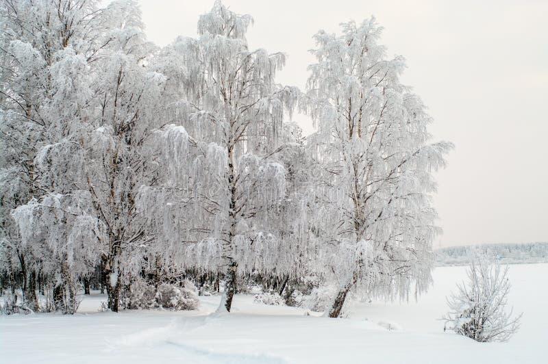 Śnieg zakrywać białe brzozy na jeziornym brzeg obraz royalty free