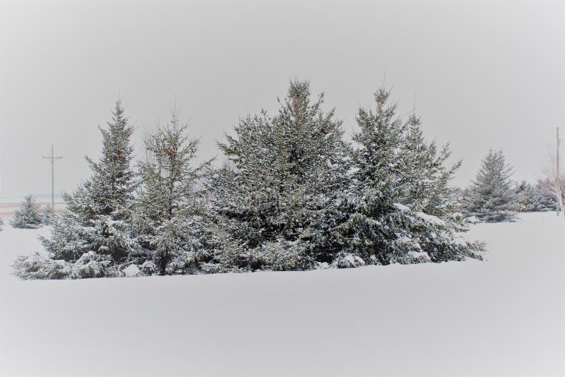 Śnieg zakrywać sosny w zimie obraz royalty free