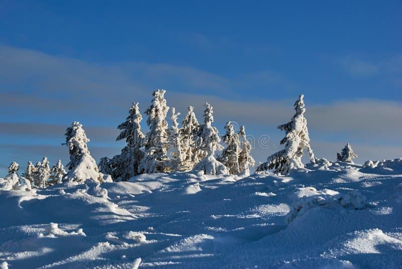 Śnieg zakrywał świerczyny w górach w zimie Beskidy obrazy stock