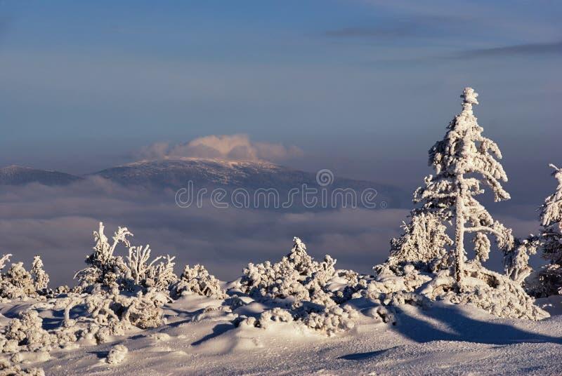 Śnieg zakrywał świerczyny w górach w zimie Beskidy fotografia stock