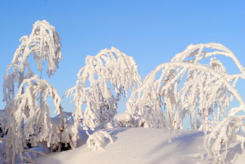 Śnieg zakrywał drzewa na jasnym mroźnym dniu fotografia stock