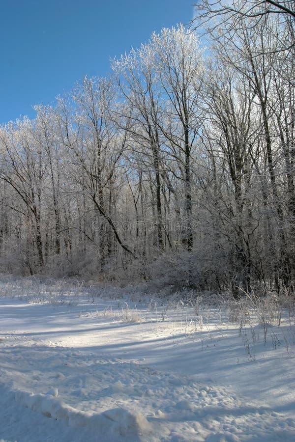 Śnieg zakrywał drzewa na pięknym chrupiącym zima ranku obrazy royalty free