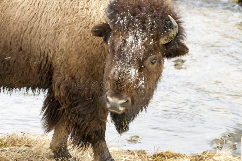 Śnieg zakrywał głowę pastwiskowy żubr rzeką w śniegu w Yellowsto obrazy royalty free