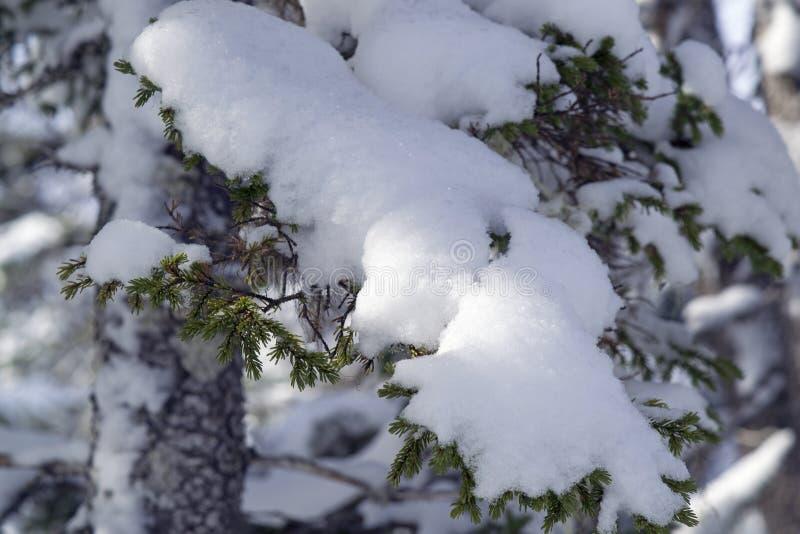 Śnieg zakrywał gałąź na pięknym zima dniu obrazy royalty free