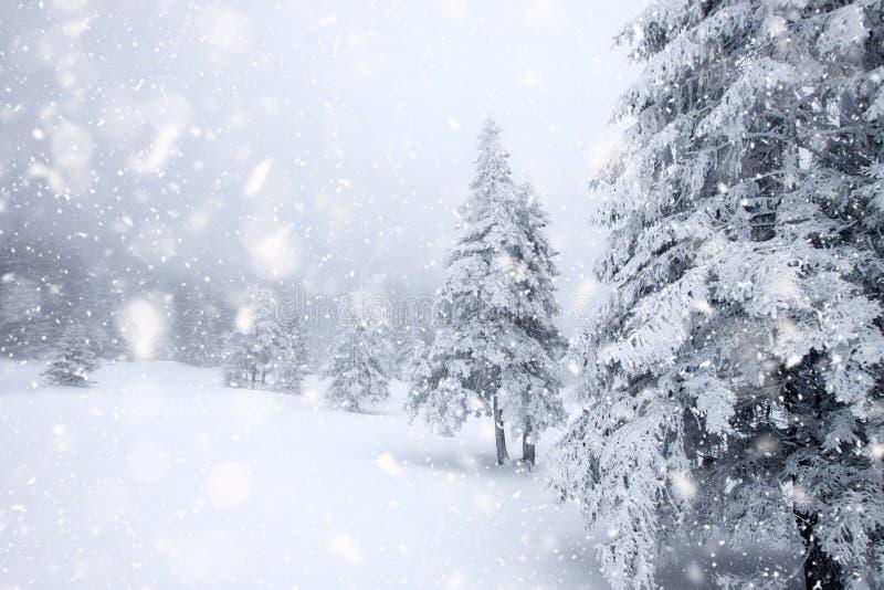 śnieg zakrywał jedlinowych drzewa w ciężkim opadzie śniegu - Bożenarodzeniowy tło fotografia stock