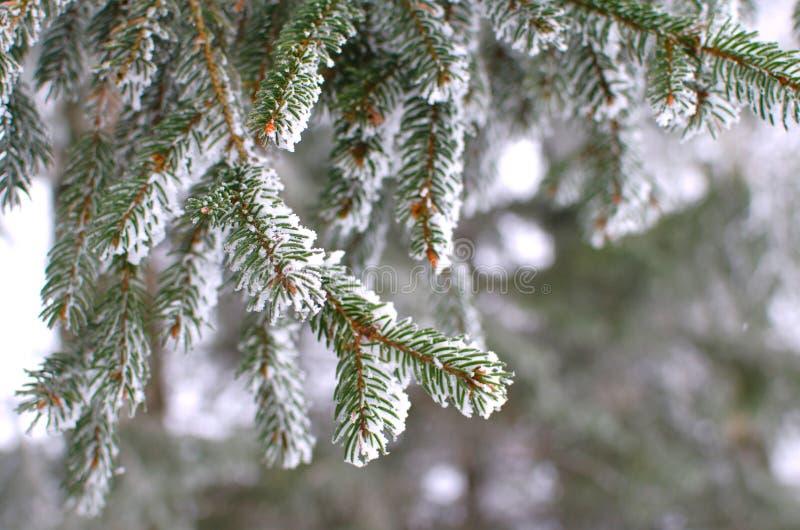 Śnieg zakrywająca świerczyna rozgałęzia się tło wizerunek zdjęcie royalty free