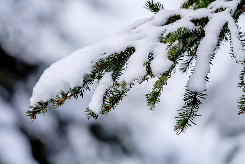 Śnieg Zakrywająca Wiecznozielona gałąź przy Snoqualme przepustką Waszyngton zdjęcie royalty free