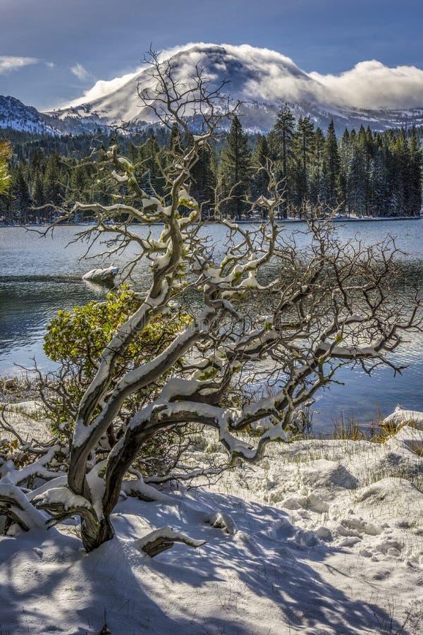 Śnieg Zakrywający Manzanita drzewo, Manzanita jeziora, Lassen szczyt, Lassen Powulkaniczny park narodowy zdjęcia stock