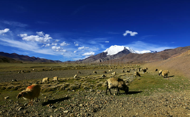 Śniegi nakrywający góry, obszar trawiasty i sheeps, fotografia royalty free