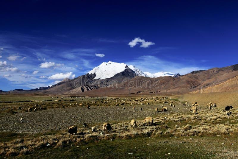 Śniegi nakrywający góry, obszar trawiasty i sheeps, zdjęcie royalty free