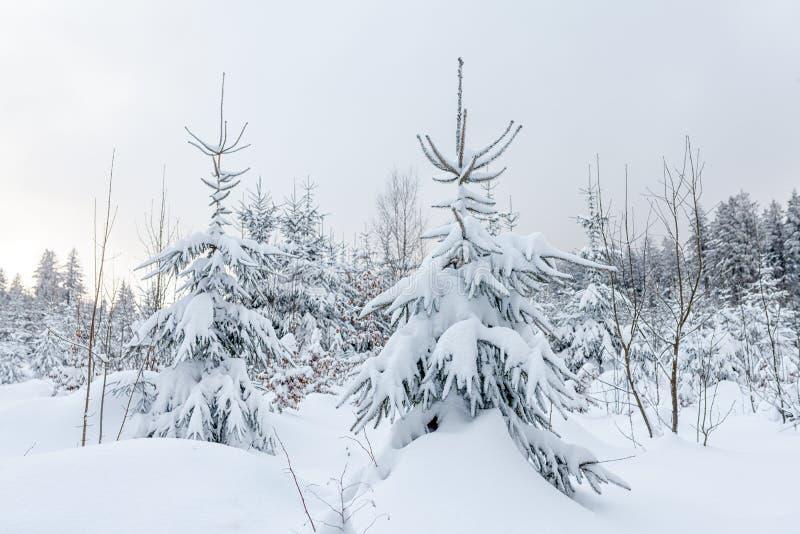 Śniegi zakrywający conifers w zima lasu krajobrazie obrazy stock