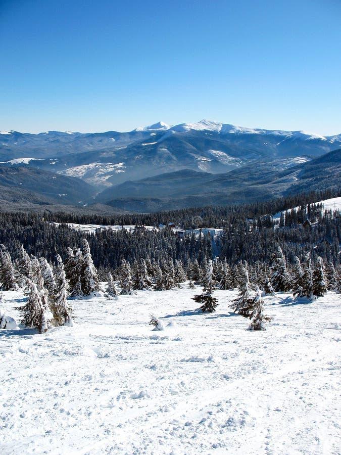 Śniegi zakrywający góra szczyty z wzgórzami zakrywali jedliny zimy lasowego krajobraz Carpathians w Ukraina obrazy royalty free