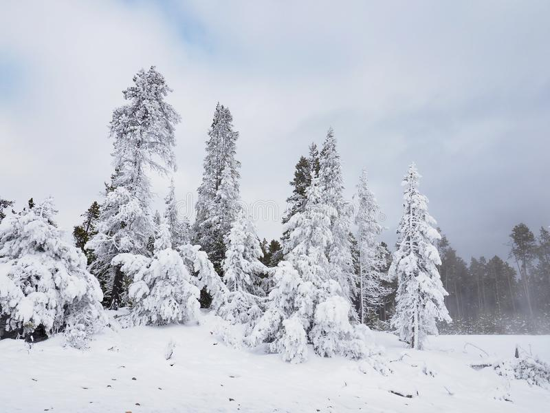 ?niegi Zakrywaj?cy Wiecznozieloni drzewa w Yellowstone parku narodowym obrazy stock