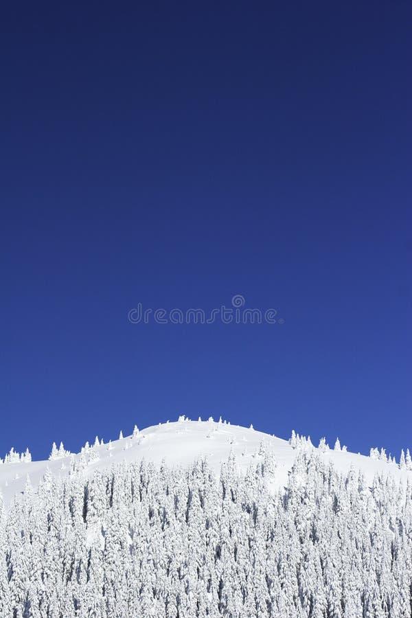 śniegu drzew sosny górskiej obrazy royalty free