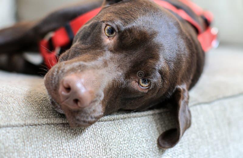 Śpiący Brown labrador na kanapie fotografia royalty free