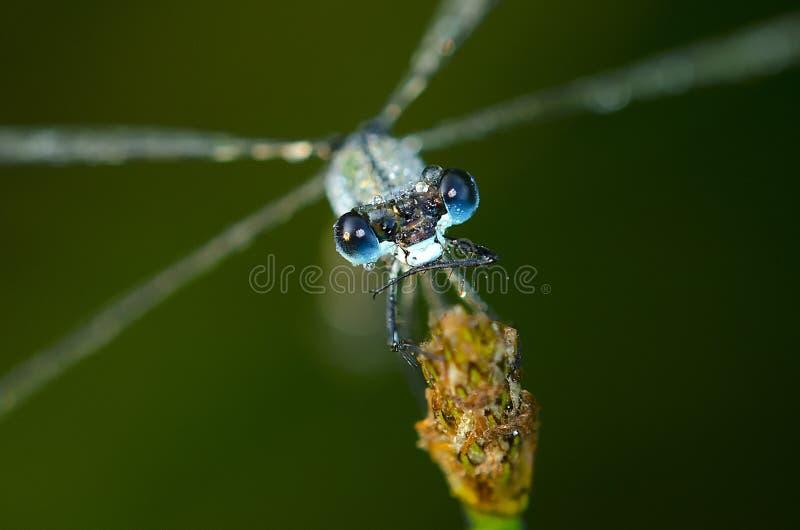 Śpiący dragonfly zdjęcie royalty free