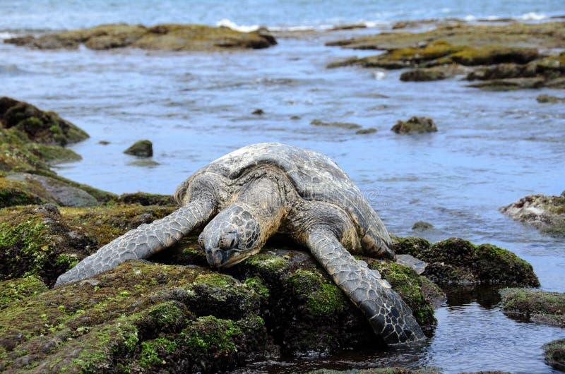 Śpiący Gigantyczny Hawajski Denny Żółw obrazy royalty free