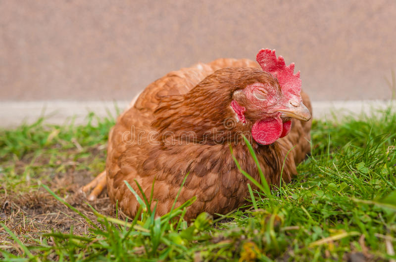 Śpiący kurczak fotografia royalty free