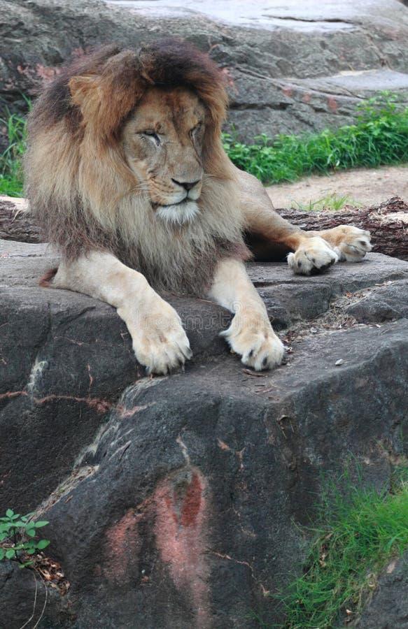 Śpiący lew w zoo obraz royalty free