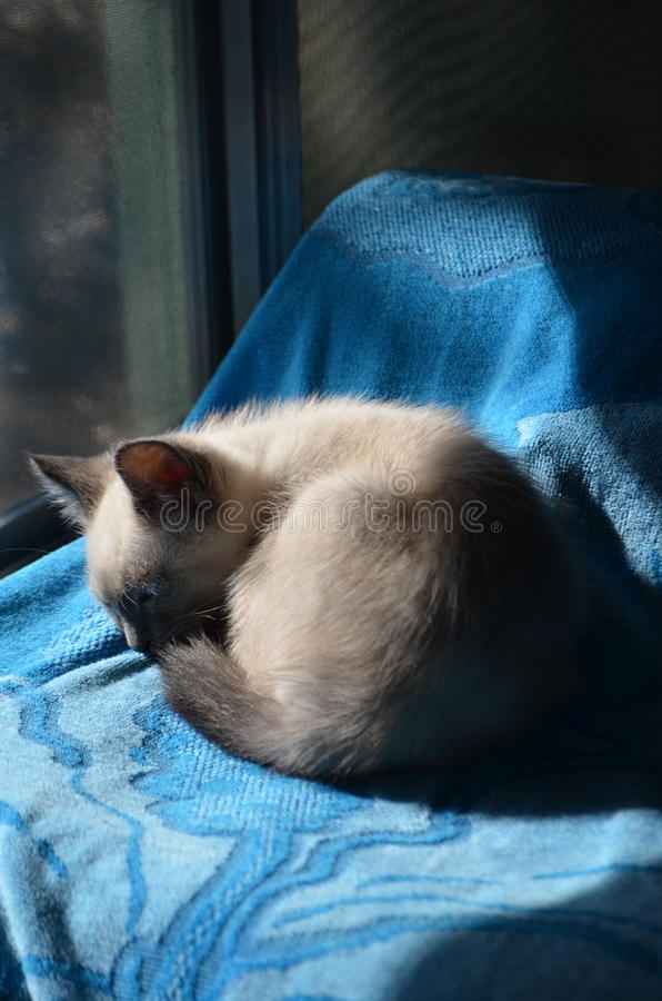 Śpiący Syjamski błękit Przyglądający się kiciunia cud zdjęcie stock
