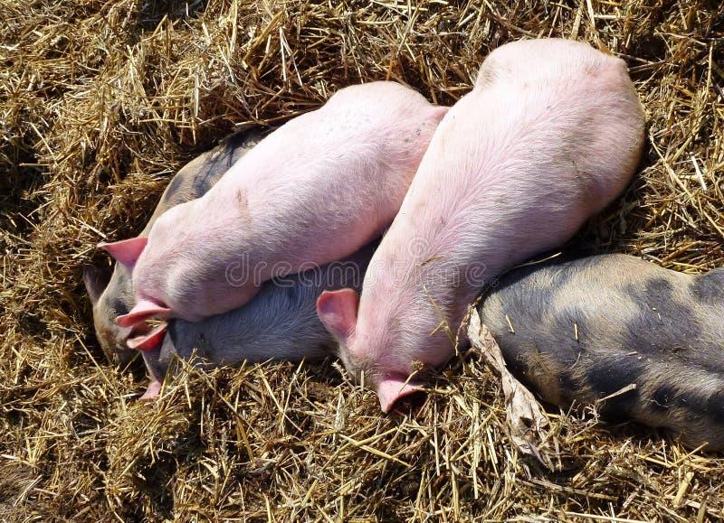 Śpiący zanieczyszczających i różowych prosiaczki w słomie zdjęcie stock
