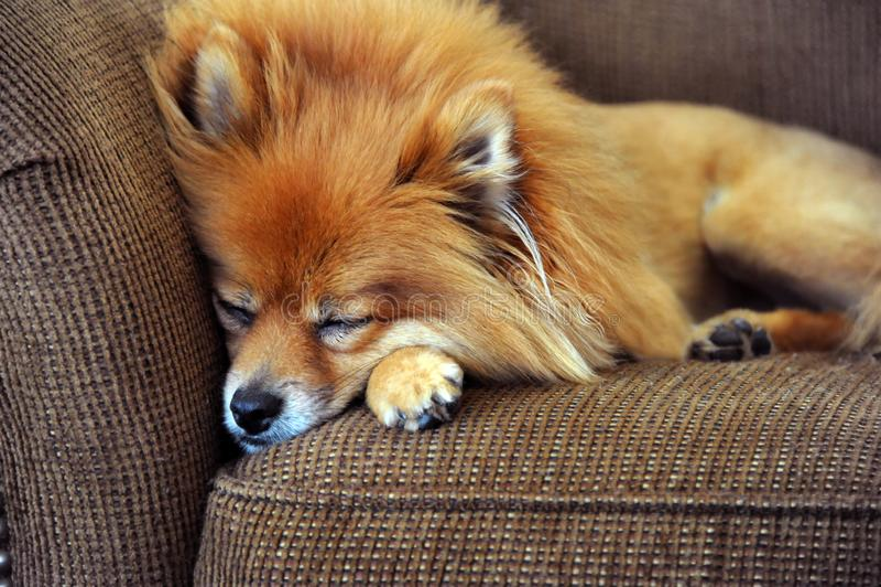 ÅšpiÄ…cy zdemoralizowany pies pomorskiego zdjęcie royalty free