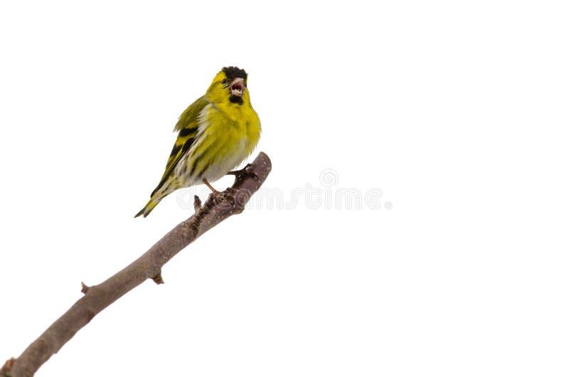 Śpiewacki ptak zdjęcia royalty free
