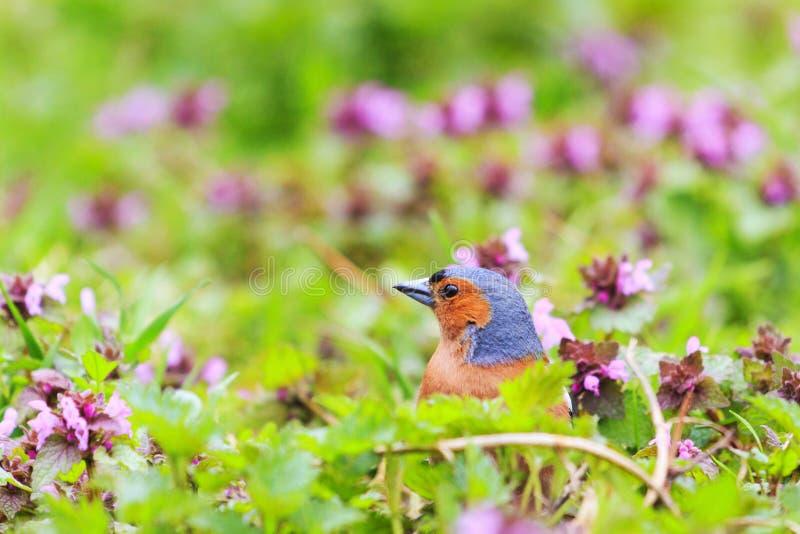 Śpiewacki ptak siedzi w wiosna lasowych kwiatach zdjęcie stock