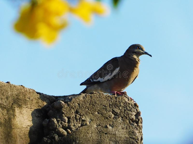 Śpiewacki ptasi czekanie swój matka zdjęcie stock