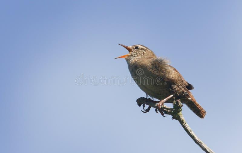 Śpiewu strzyżyka troglodyta troglodyta umieszczali na gałąź w drzewie obraz stock