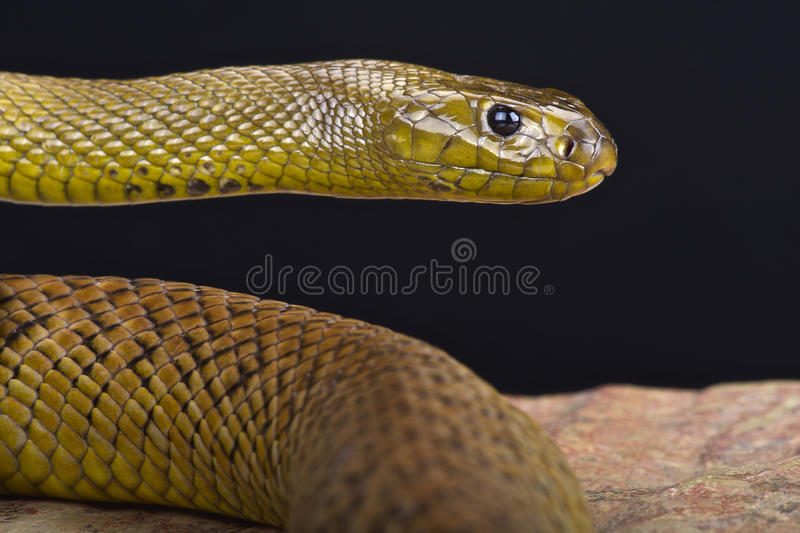 Śródlądowy taipan (Oxyuranus microlepidotus) fotografia royalty free