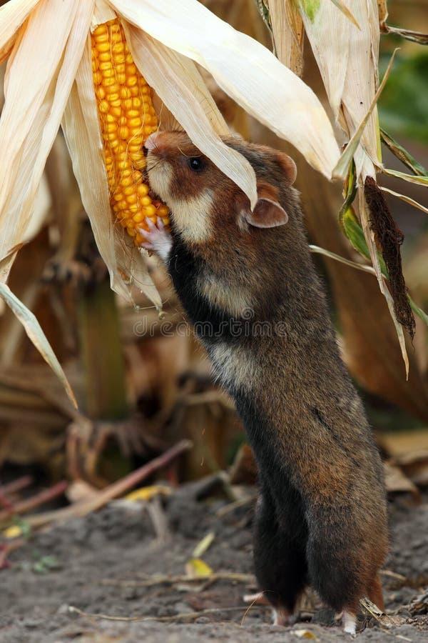 Śródpolna chomikowa gromadzenie się kukurydza obraz royalty free