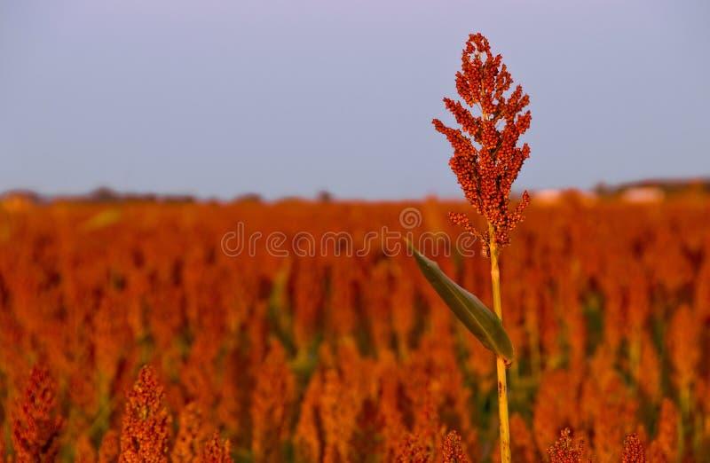 śródpolna durra zdjęcia royalty free