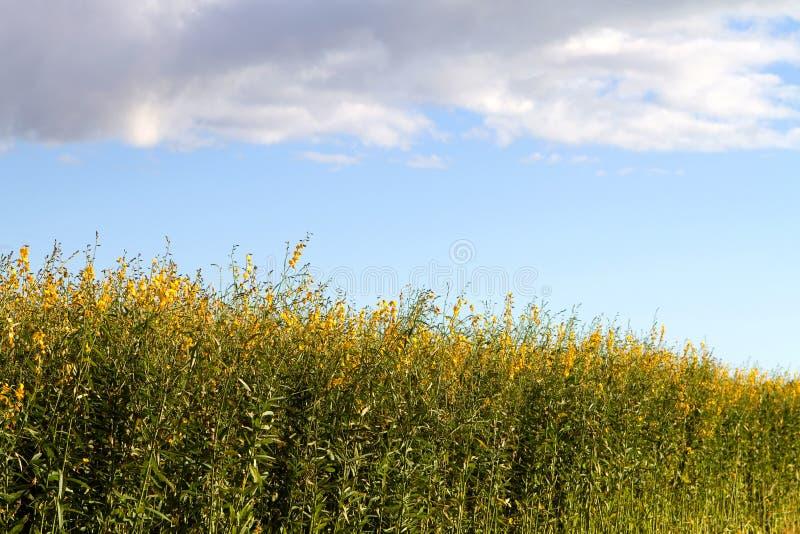 śródpolna konopiana przemysłowa roślina zdjęcie royalty free
