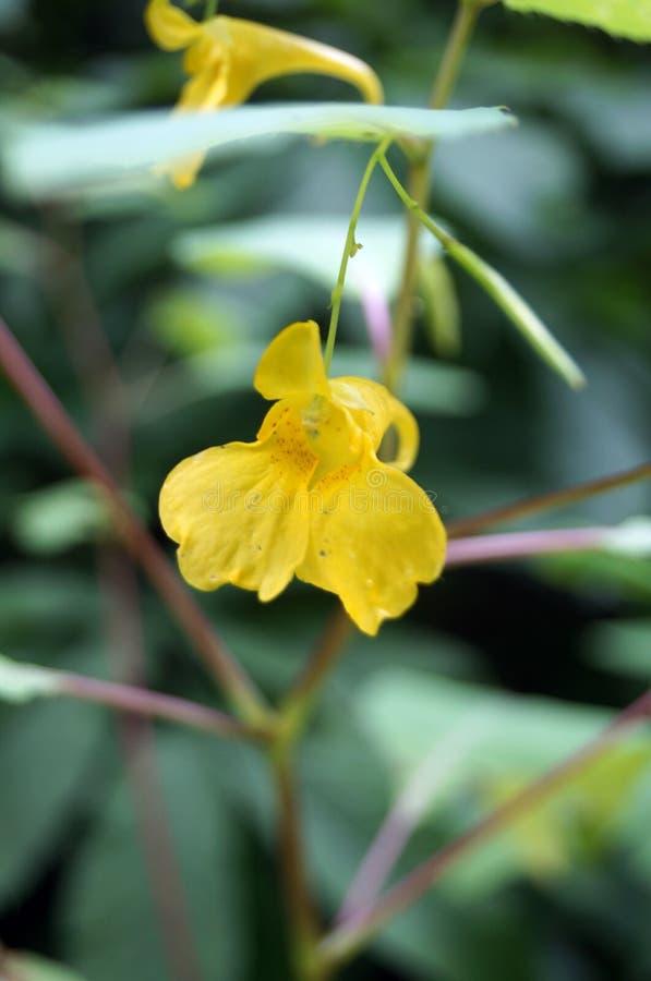 Śródpolna roślina z niezwykłymi żółtymi kwiatami fotografia royalty free