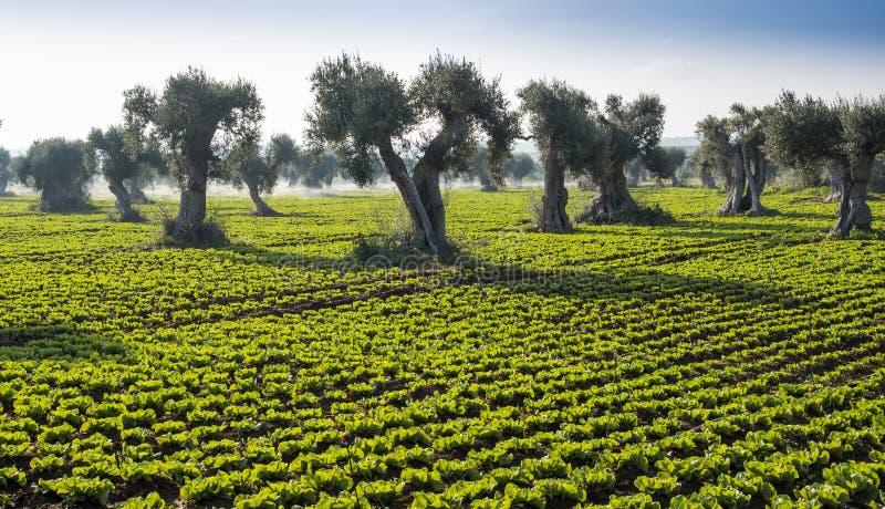 Śródpolna sałatka z drzewami oliwnymi obraz royalty free