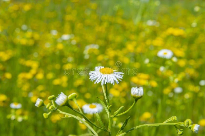 Śródpolna stokrotka na tle żółci kwiaty zdjęcie stock