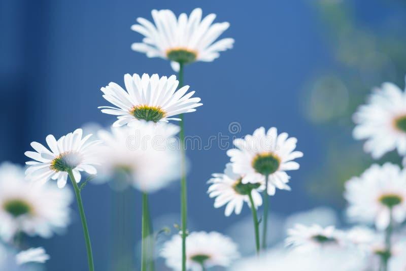 Śródpolnego chamomile kwiaty Piękna lato fotografia z wildflowers Stokrotki na błękitnym tle Selekcyjna miękka ostrość fotografia stock